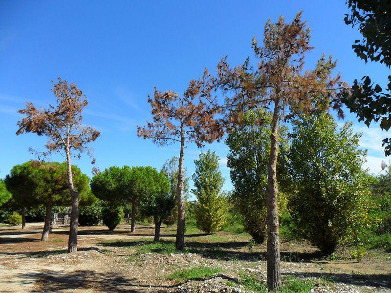 Pins traslladats des del Parc Clot de la Mota a causa de la instal·lació del fracassat Maremagnum